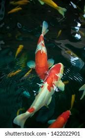 Koi Fish , Colorful carps fish are swimming in water