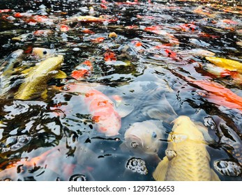 Koi fish or Fancy carp fish swimming in the pond. Some of the major colors are white, black, red, orange, yellow, blue, and cream.