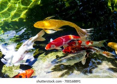 Koi fish or Fancy carp fish swimming in the  pond