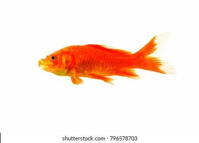 Koi fish gold