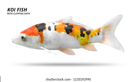 Koi fish isolated on white background. Colorfuls carp fish. ( Clipping path )