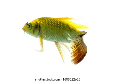 Koi fish isolated on White background with clipping path