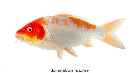 Koi fish isolated on the white background.
