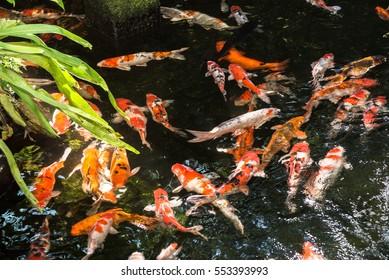 Koi fish on a sunny day