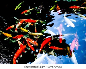 The koi fish in the pond