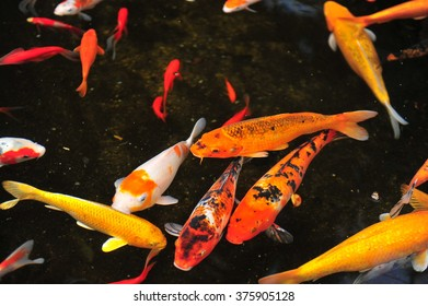 Koi fish in the pond