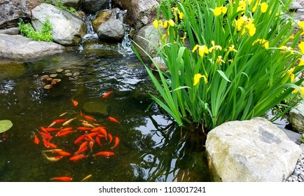 Koi Fish Pond; Decorative Orange Koi Fish Swimming in a Circular Fashion in a Pond Near Surface with Yellow Irises Nearby; Design Elements, Landscaping and Water Feature Ideas.