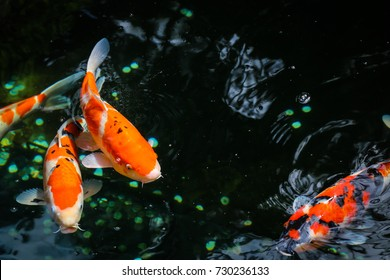 Koi Fish in a pond in a Japanese park