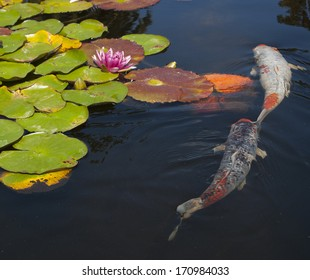 A koi fish pond with lily pads and flowers floating on the water. Two  koi fish,  one black, white, and orange, the other is white and orange, swimming in the dark water