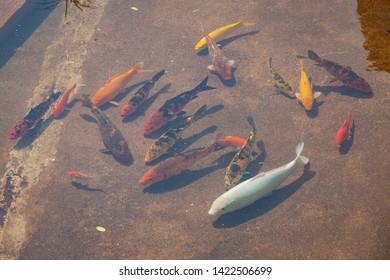 Koi fish pond at sunny day in Hong Kong