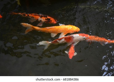 Koi fish in pond,Swimming in water garden,fancy carp fish