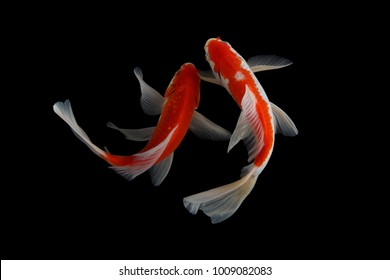 Koi fish red black baground