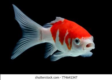 Koi fish Red gold