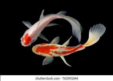 Koi fish Red, white Beground black