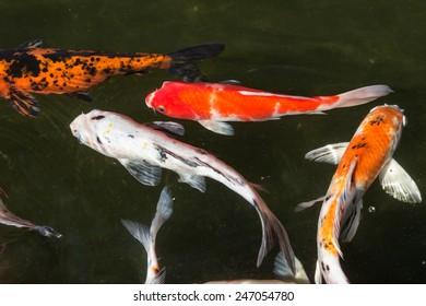 koi fish swim in pond