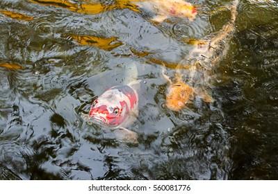 koi fish swim in pond.