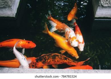 koi fish swiming in the koi pond