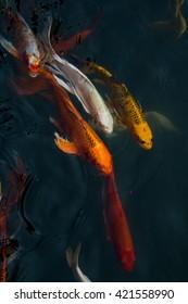 Koi fish swimming beautiful background