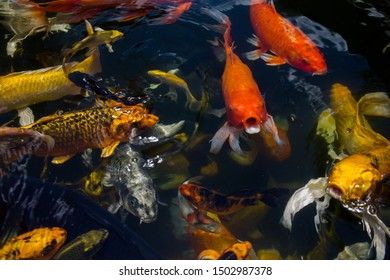 Koi fish swimming eating food in the pond