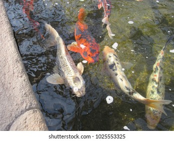 Koi fish of various colors in a pond