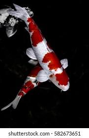 Koi fish in water wallpaper.