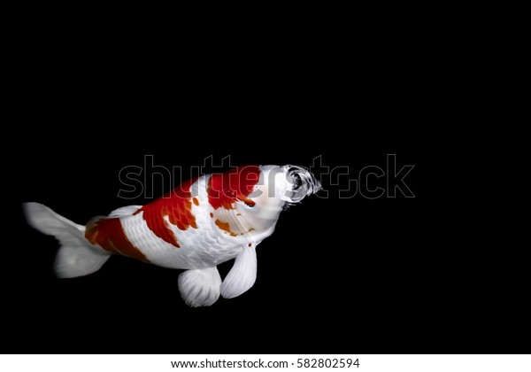 Koi fish in water wallpaper.
