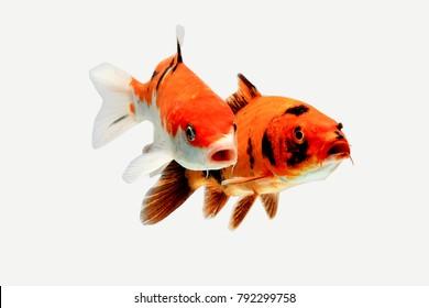 Koi fish white black red