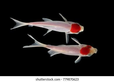Koi fish  White red
