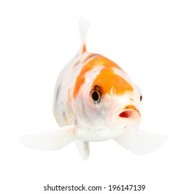 Koi Isolation on the white background
