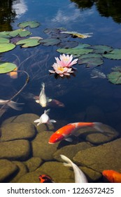 Koi Pond Carp Fish swims among water lily in the water slowly in the park