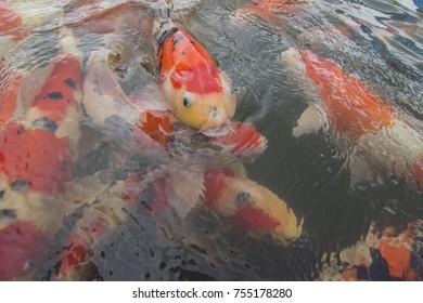 Koi pond in the garden. Koi fish swim around. One red koi open mouth.