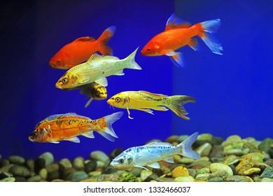 Koi swimming in aquarium