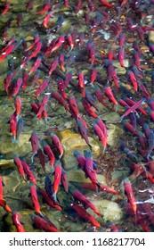 Kokanee salmon spawning in river