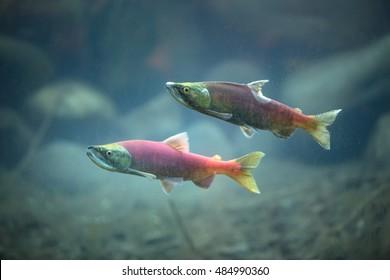 Kokanee salmons underwater