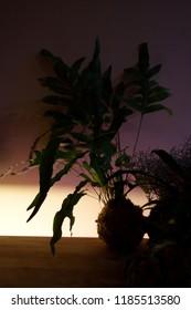Kokedama with Phlebodium aureum or Blue star fern silhouette illuminated in low light