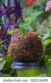 Kokedama plant ornament in a garden