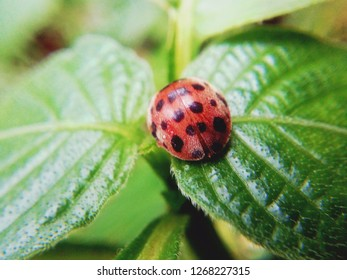 Koksi beetle is one of the small animals belonging to the order Coleoptera. They are easily recognized because of their small round appearance and colorful backs and on some types of spots.
