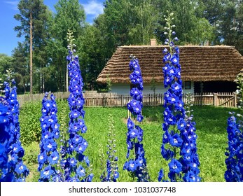 KOLBUSZOWA, POLAND - JUNE 21, 2017: Blue delphinium flowers grow in the open air folk museum with an old wooden cottage in the background in Kolbuszowa, Poland.