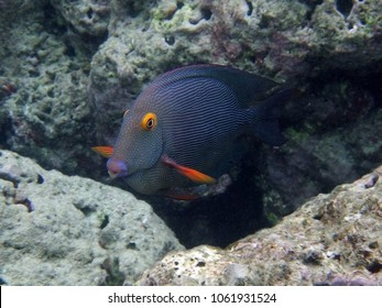 Kole Yellow Eye Tang (Ctenochaetus strigosus) on the coral reefs in Hawaii