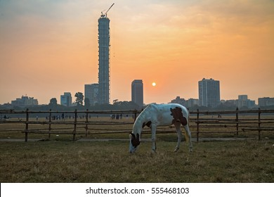 KOLKATA, INDIA, JANUARY 8,2017: A horse graze at the Kolkata Maidan area at sunrise on a foggy winter morning with the cityscape at the backdrop.