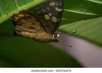 Kollam, Kerala, India - June 7, 2019: Yellow spotted small skipper sitting on leaf.