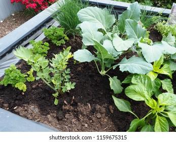 Kolrabipflanzen  im Hochbeet