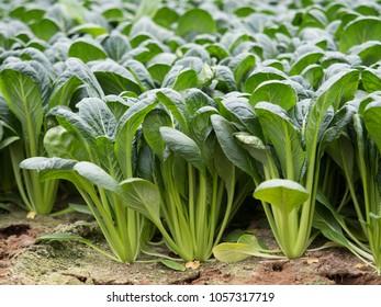 Komatsuna crop field