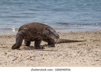 Komodo Dragon 0196