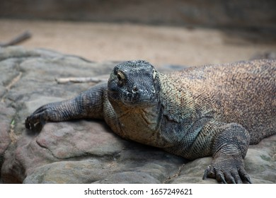 Komodo Dragon close up on standing on a stone