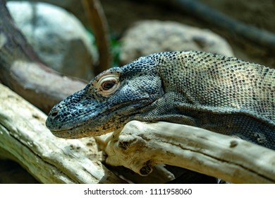 Komodo dragon close up portrait