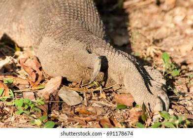 Komodo Dragon foot and long curved claws, closeup.