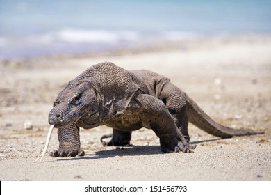 Komodo Dragon in Komodo Island National Park, Indonesia
