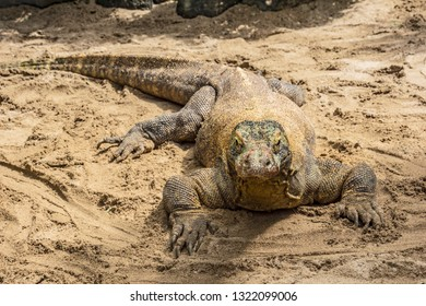 The Komodo dragon, also known as the Komodo monitor, is a species of lizard found in the Indonesian islands of Komodo, Rinca, Flores, Gili Motang, and Padar
