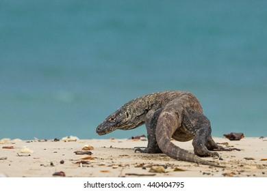 Komodo dragon on the island Komodo.